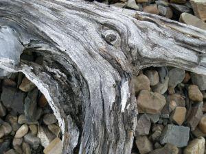Driftwood - Glacier Park