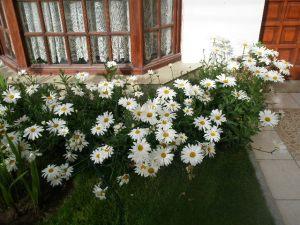 Daisies - Puerto Madryn
