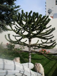 Puerto Madryn Tree