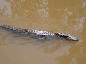 One more alligator