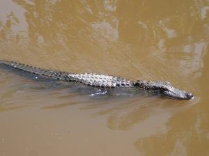 One more alligator