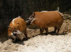 Warthogs - Sniff, Sniff