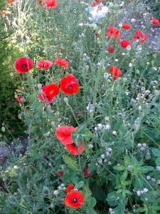 Poppies.2