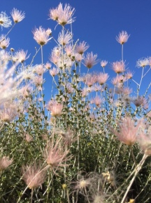 Wild Flowers - Santa Fe