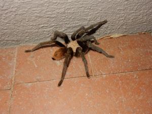Tarantula.1